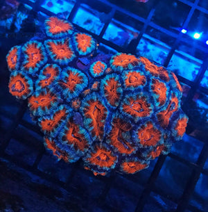 Ultra Acan Colonies