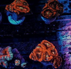 Ultra Acan Frags Nice Size (Random Pick)