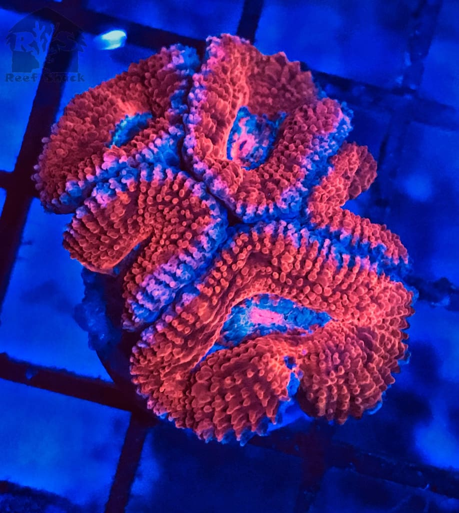 Ultra Acan Frags Nice Size - JQ's ReefShack LLC