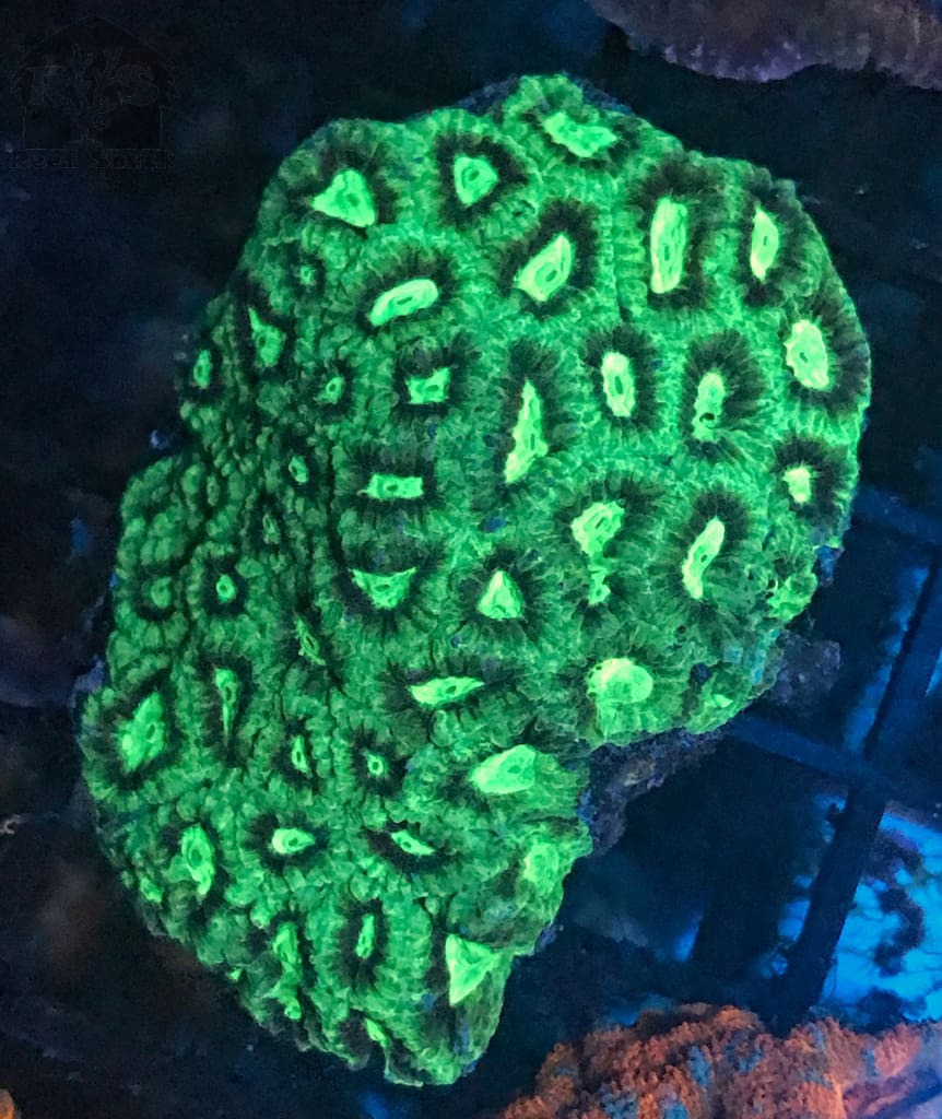 Ultra Favia Frags - JQ's ReefShack LLC
