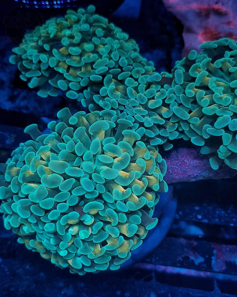 Ultra Gold Stem Hammer Coral (Price Per Head)