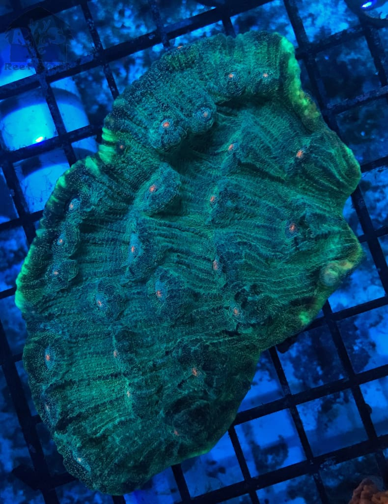 Green Chalice Frags - JQ's ReefShack LLC