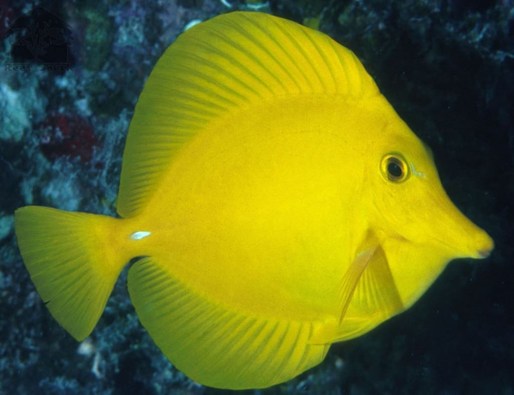 Yellow Tang - JQ's ReefShack LLC