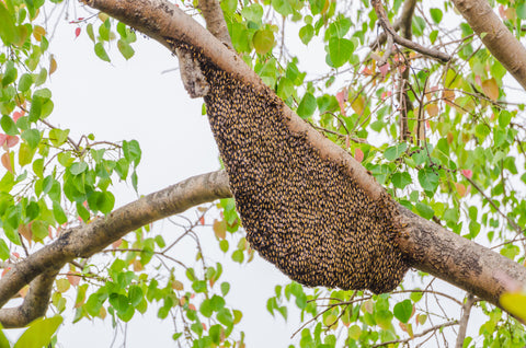 Bee Swarm Removal Doreen