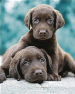 Keith Kimberlin (Chocolate Labs) - Mini Poster - 40cm x 50cm