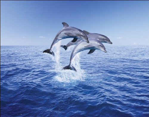 Pyramid International Dolphin Trio Mini Poster, Plastic/Glass, Multi-Colour, 40 x 50 x 1.3 cm