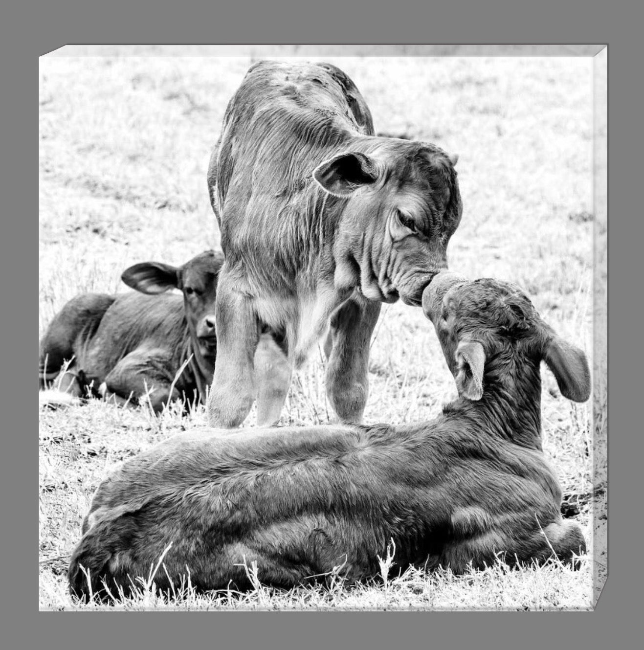 calf kisses black and white canvas print holly s rural photography