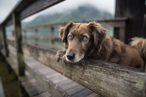 old dog next to fence