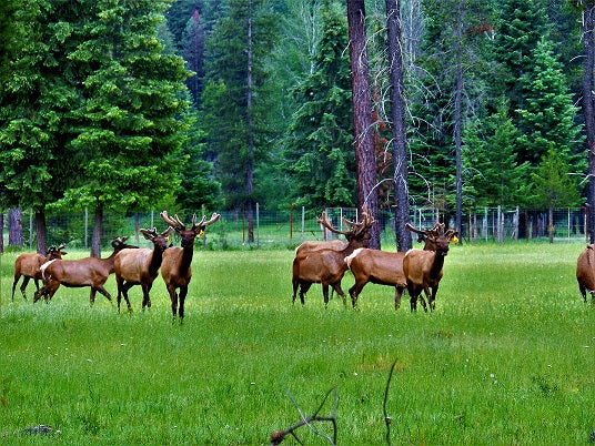 Elk roaming in field