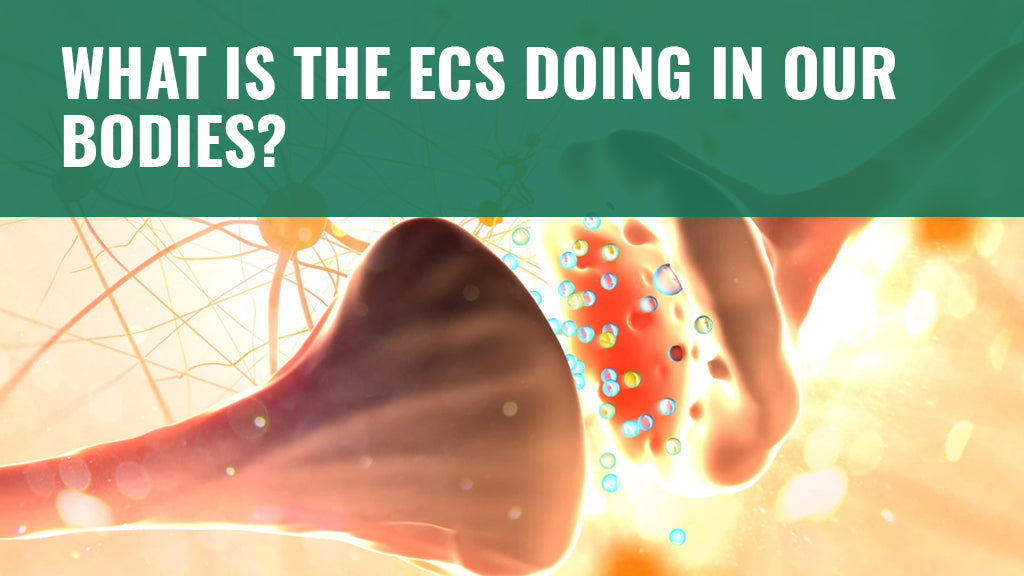 What is the ECS Doing in Our Bodies?