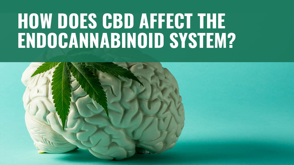 How Does CBD Affect the Endocannabinoid System?