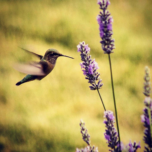 Humming Bird Flight