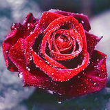 Glorious Red Rose Diamond Painting