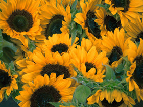 Sunflowers Galore - Ships from U.S.