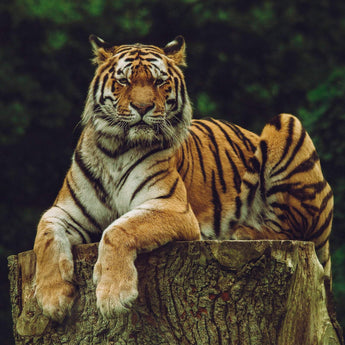 Tiger on Stump Diamond Painting