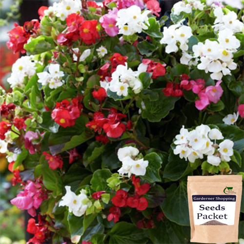 Begonia Semperflorens Mixed Seeds (Hybrid)- Buy Begonia Semperflorens Mixed Seeds Online India - Gardenershopping