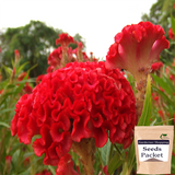 Cockscomb Red Seeds (Hybrid)- Buy Cockscomb Red Seeds Online India - Gardenershopping