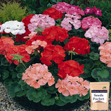 Geranium Pacific Mixed Seeds (Hybrid)- Buy Geranium Pacific Mixed Flower Seeds Online India