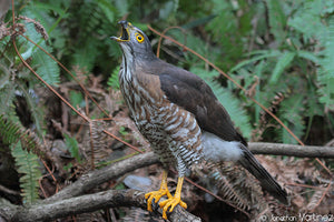 Field Report: Photographing the Crested Goshawk in China