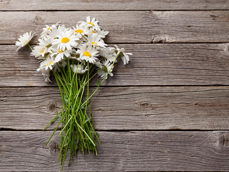 Daisy Flower Extract