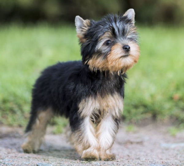10 Most Popular Small Dogs Breed That Everyone Loves Lulu Dog Store