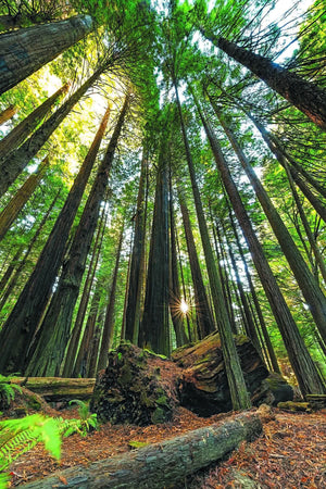 Redwoods - California