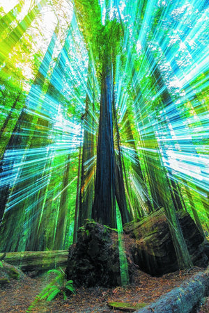 Redwoods Burst - California