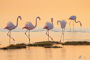 Pink Flamingos - Florida USA