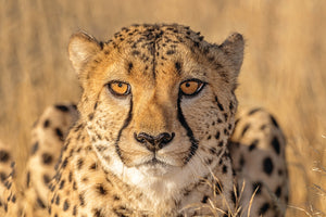 Cheetah Stare Down - South Africa