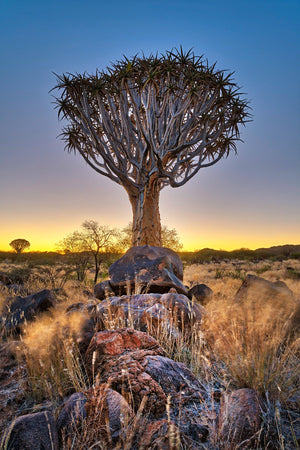 Quiver Tree - South Africa