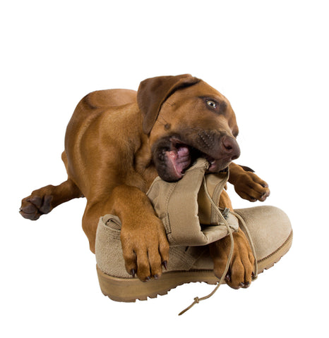 10 Ways Your Life Will Change When You Adopt A Dog dog chewing on boot
