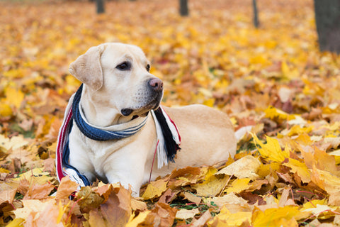 How To Keep Outdoor Pets Safe lab in scarf laying in leaves
