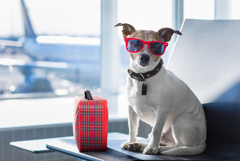 How To Bring Your Dog On A Plane jack russell wearing sunglasses waiting to board a plane in airport with bag
