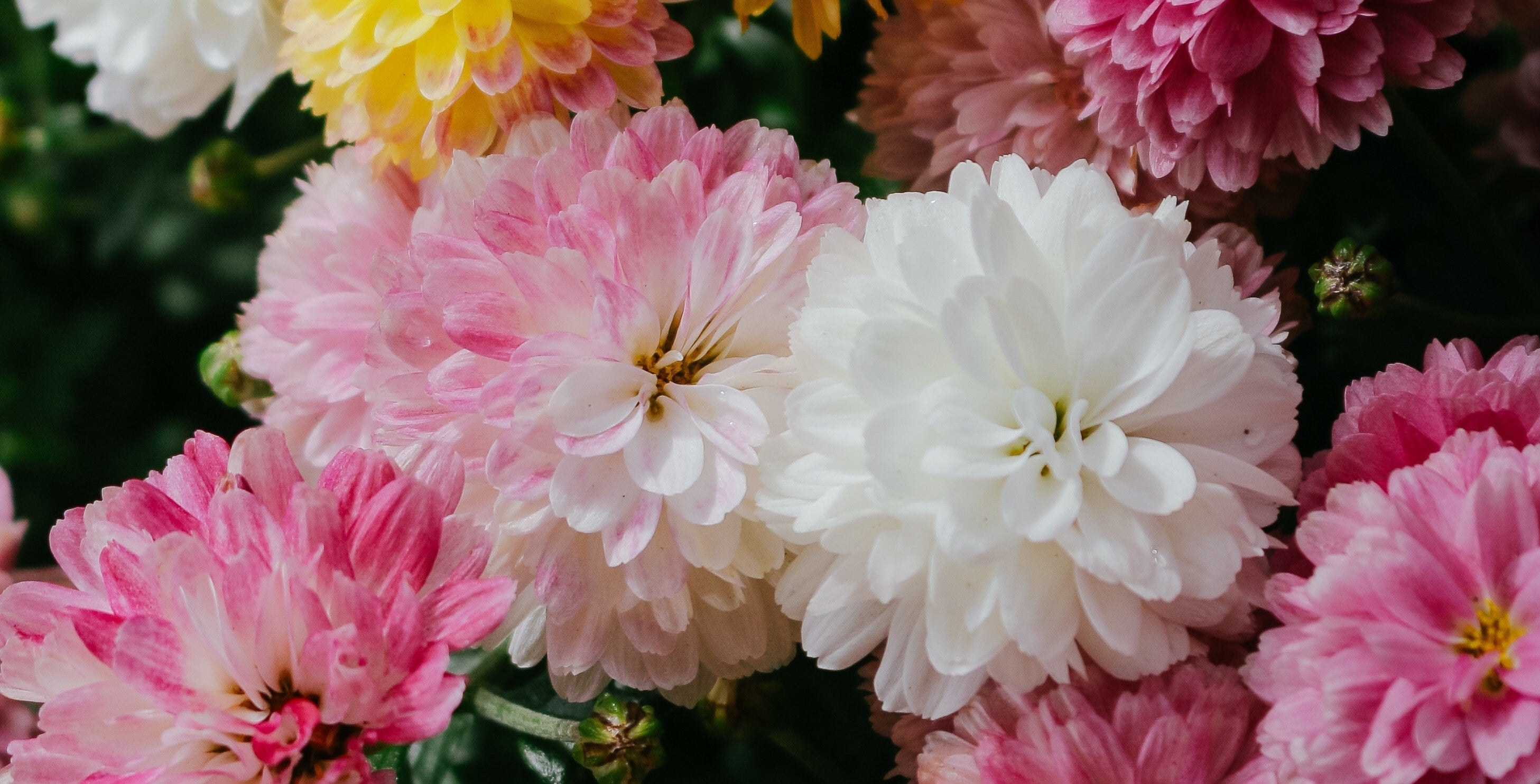 Mothers' Day carnations