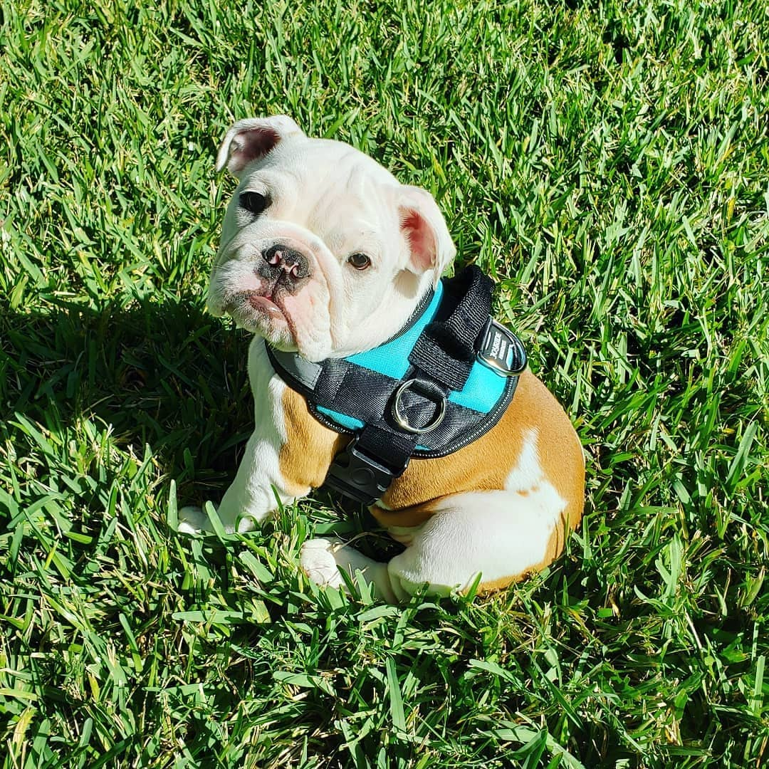 A Pug Life Harness Update | What is Joyride Harness?