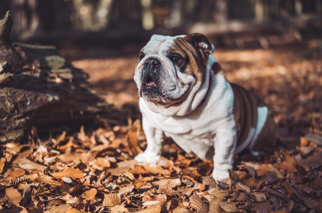 REVIEW: Best Harness for Bulldogs