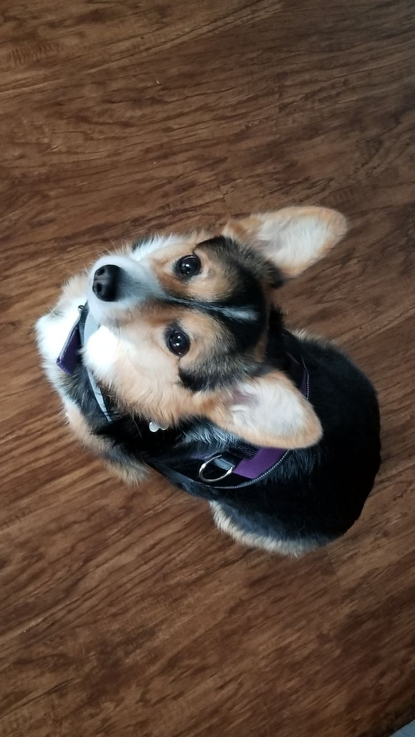 REVIEW: Best Harnesses For Corgis