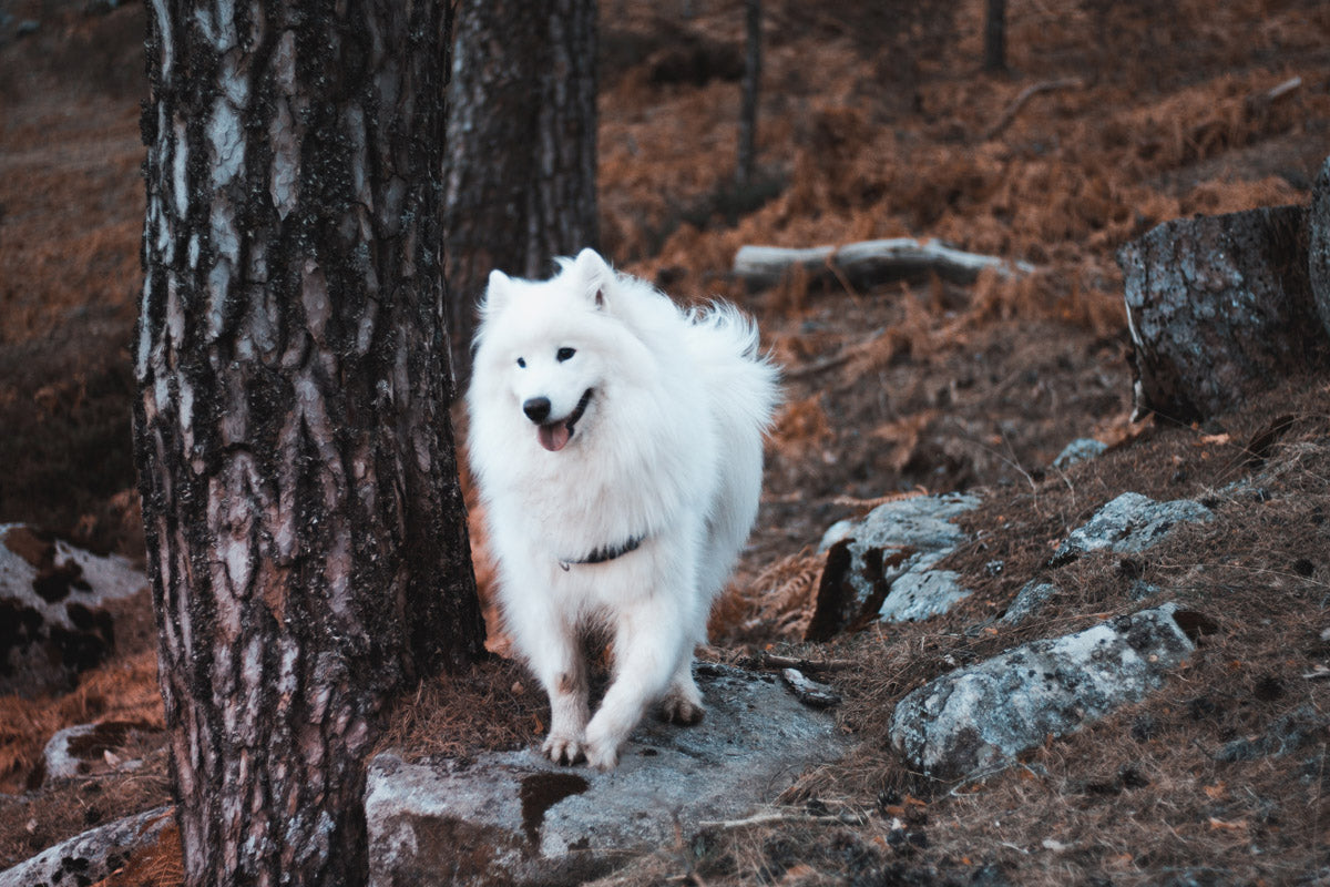 The Best Dog Harness For Samoyed
