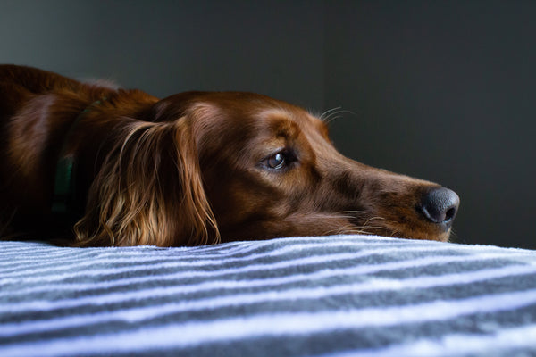 How to Handle Your Dog's Separation Anxiety