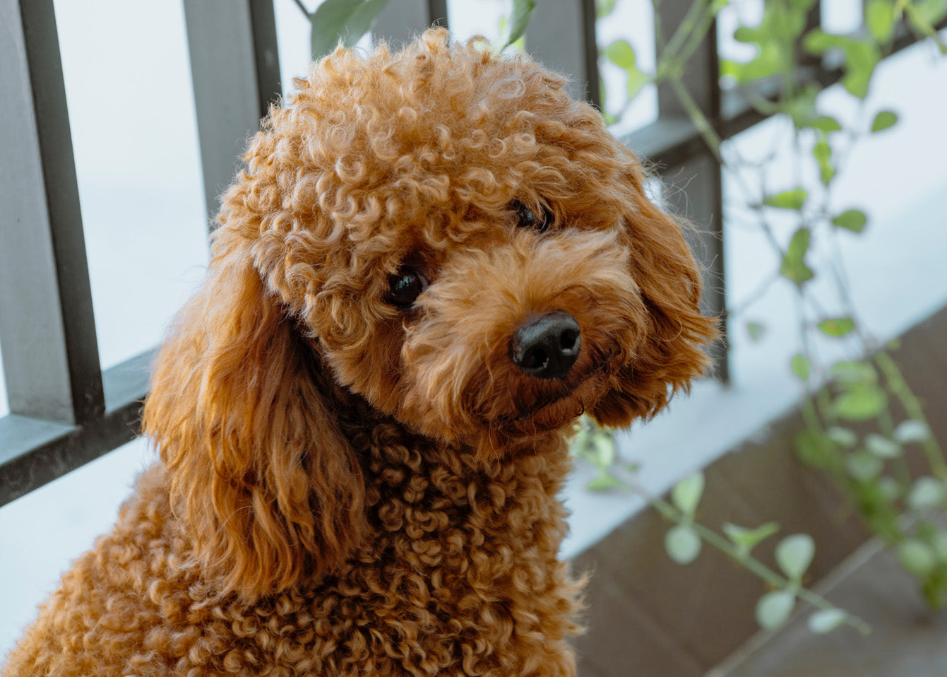 REVIEW: Best Dog Harness For Poodles