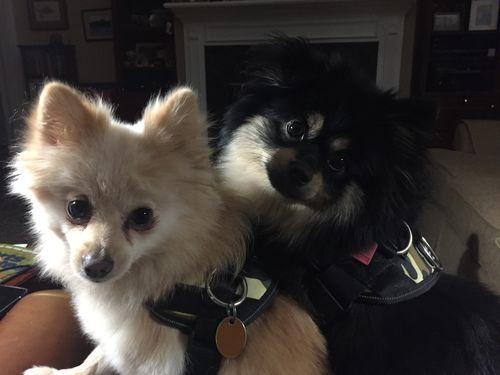 Review  Best Dog Harness For Pomeranians  U2013 Joyride Harness
