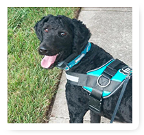 Black Dog with Harness