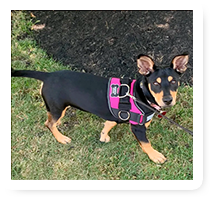 Black and Brown Rat Terrier with Purple Harness