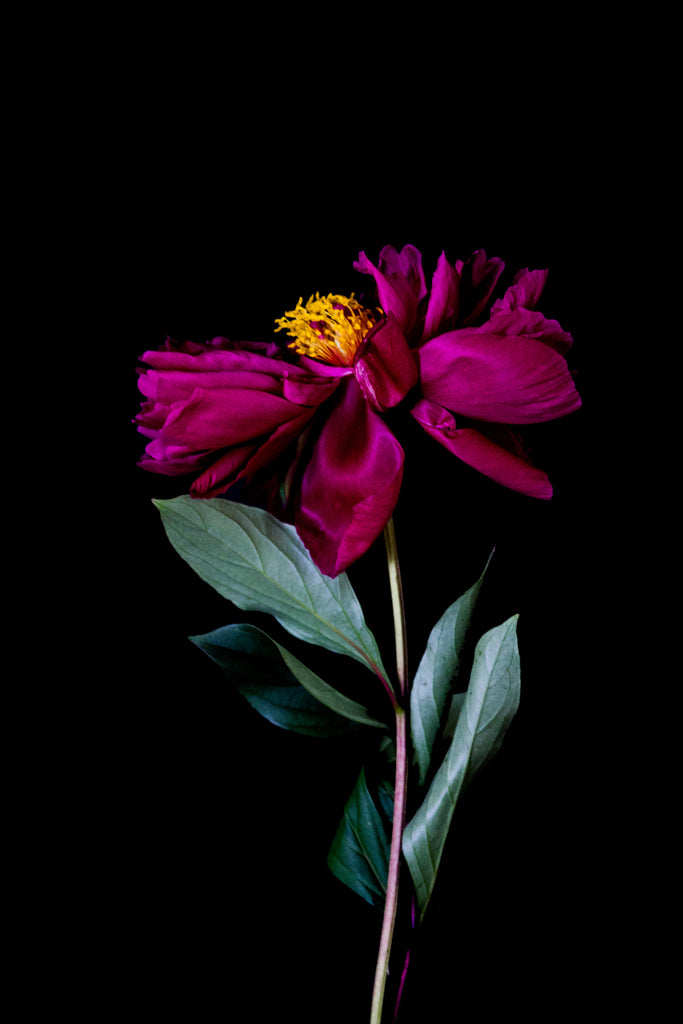 Peony flower art print photo Just SOuth West Makers Market Makers Mrkt Melbourne