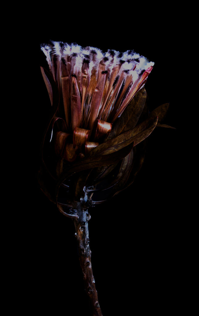 Protea flower art print photo Just SOuth West Makers Market Makers Mrkt Melbourne