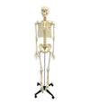 180cm Tall Skeleton