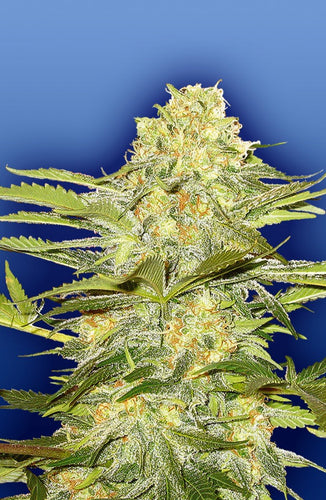 Artic Sun [REG] by Flying Dutchmen Seeds