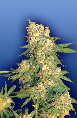 Aurora B [REG] by Flying Dutchmen Seeds