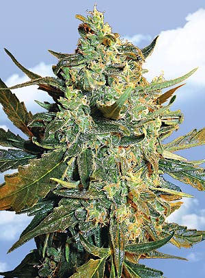 Power Skunk [FEM] by Flying Dutchmen Seeds
