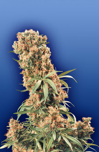 The Pure [REG] by Flying Dutchmen Seeds